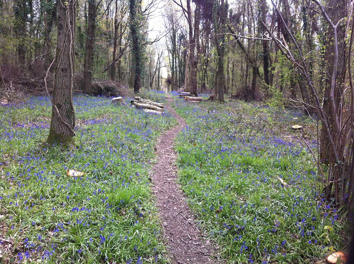 conserved ancient woodland bluebells