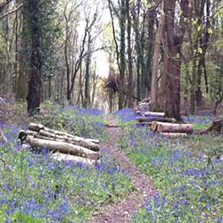 woodland path with logs stacked either side and bluebells